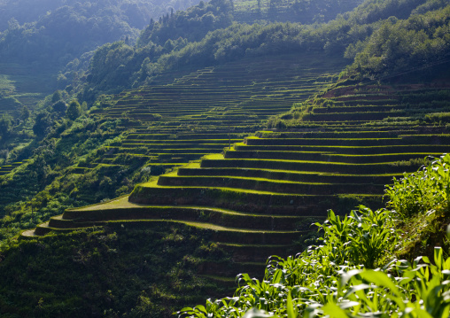 Green Rice Terraces Of Hani People In Yuanyang, Yunnan Province, China