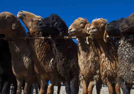 Sheeps in line, Kashgar Animal Market, Xinjiang Uyghur Autonomous Region, China