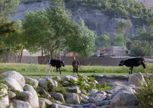 Afghan boy taking care of cows in a field, Badakhshan province, Khandood, Afghanistan