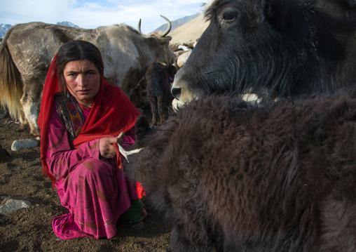 Wakhi nomad woman milking a yak, Big pamir, Wakhan, Afghanistan