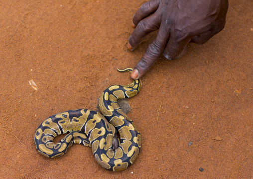 Benin, West Africa, Bonhicon, man catching a snake