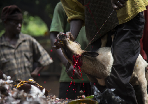 Benin, West Africa, Dankoly, the slaughter of a goat in a ritual sacrifice during a voodoo ceremony