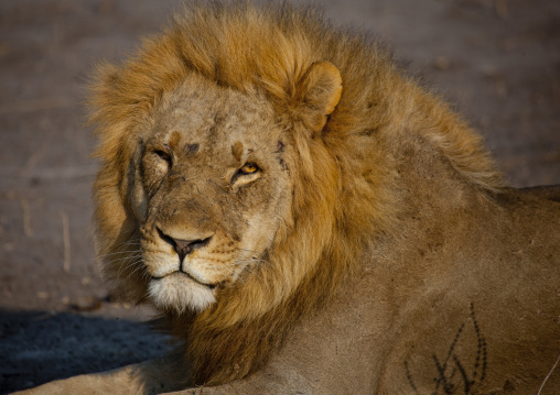 Lion In Chobe National Park, Botswana