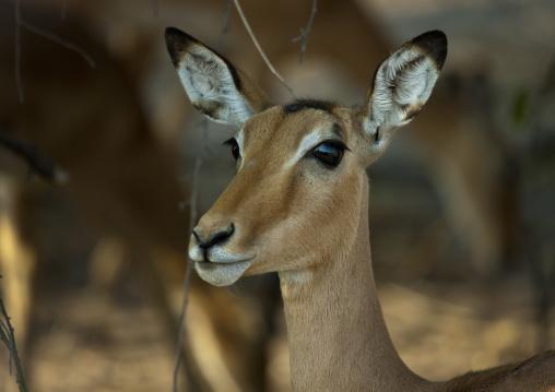 Impala In Chobe National Park, Botswana