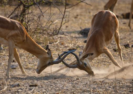 Two Impalas Fighting, Chobe National Park, Botswana