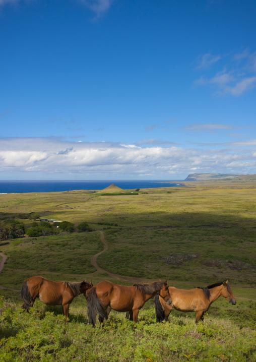 Horses In Rano Raraku, Easter Island, Chile