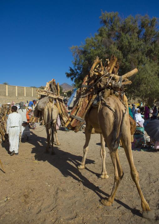 Camel Carrying Wood, Anseba, Keren, Eritrea