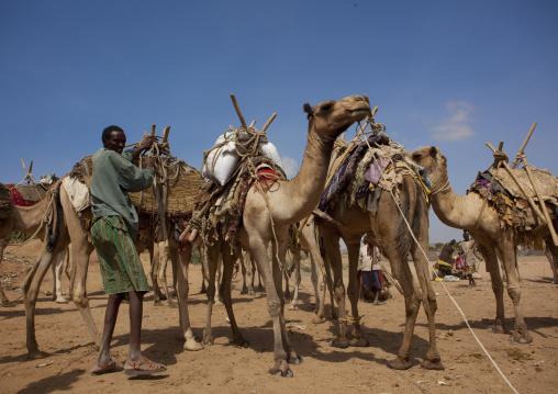 Caravan Of Camels Going Through Dechatu River, Dire Dawa, Ethiopia
