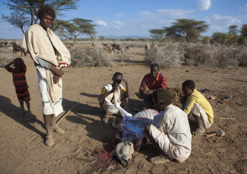 Slaughtered Cow Being Cut Open By Karrayyu Tribe Men To Make Prediction At Gadaaa Ceremony, Metehara, Ethiopia