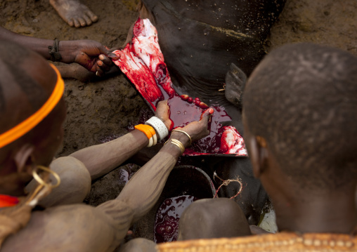 Bodi Man Takes The Blood Out Of The Cow After Sacrifice, In Order To Drink It Omo Valley Ethiopia