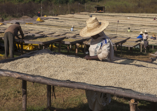 Workers In Front Of White Coffee Beans Drying In The Sun In A Fair Trade Coffee Farm, Jimma, Ethiopia