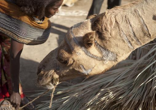 Assayta Camel Market, Afar Region, Ethiopia