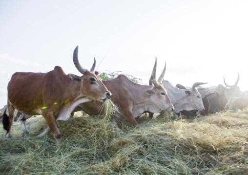 Harvest Season In Dila, Ethiopia