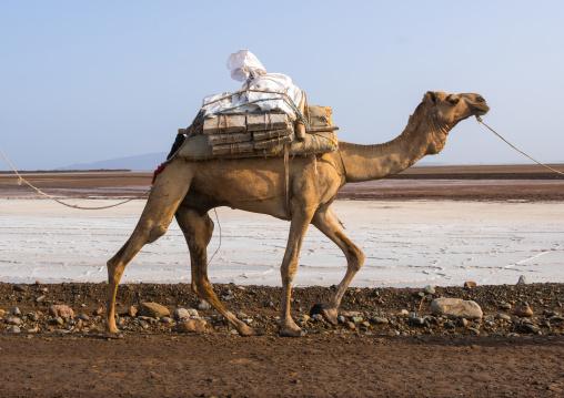 Camel caravans carrying salt through the danakil depression, Afar region, Dallol, Ethiopia