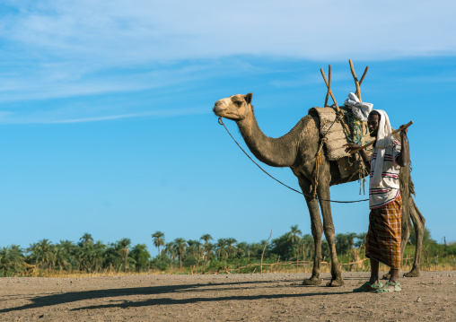Afar tribe man with his camel in front of palm trees, Afar region, Afambo, Ethiopia
