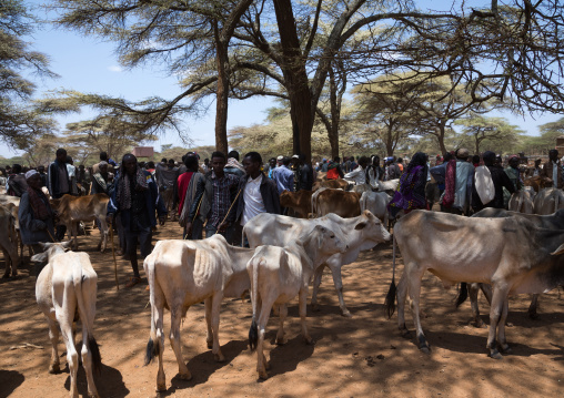Cattle on a Borana market, Oromia, Yabelo, Ethiopia