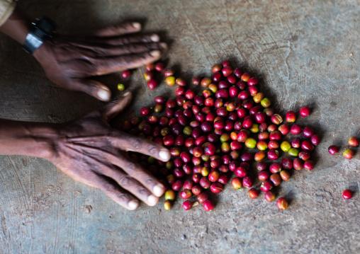 Man collecting fresh red coffee beans, Oromia, Shishinda, Ethiopia