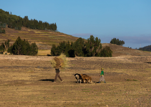 Ethiopian man coming back to home with is sheeps, Amhara region, Weldiya, Ethiopia