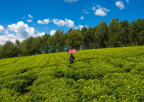 Ethiopian man with an umbrella working at green tea plantation, Keffa, Bonga, Ethiopia