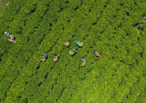 Aerial view of ethiopian people working at green tea plantation, Keffa, Bonga, Ethiopia