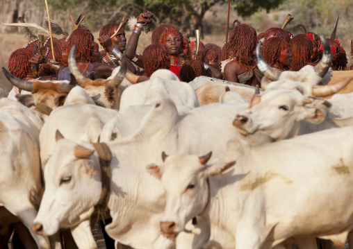 Hamar Tribe Women And Cattle During Bull Jumping Ceremony, Turmi, Omo Valley, Ethiopia