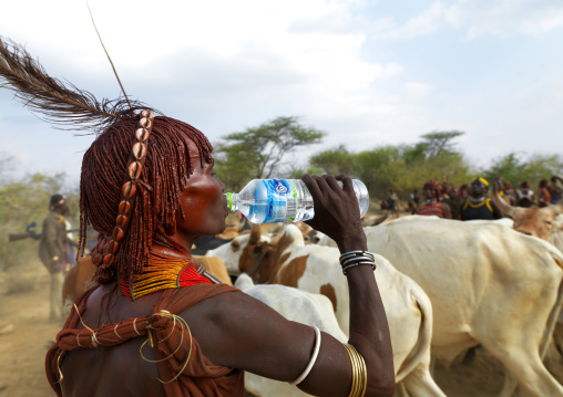 Hamer Woman Traditionally Dressed Among Cattle Herd Drinking From Plastic Bottle Of Water Ethiopia
