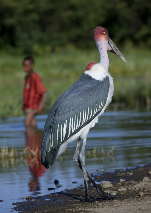 Huge Red-headed Bird And Kid, Chamo Lake, Ethiopia