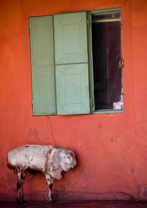 Sheep In Front Of An Orange Wall, Dire Dawa, Ethiopia