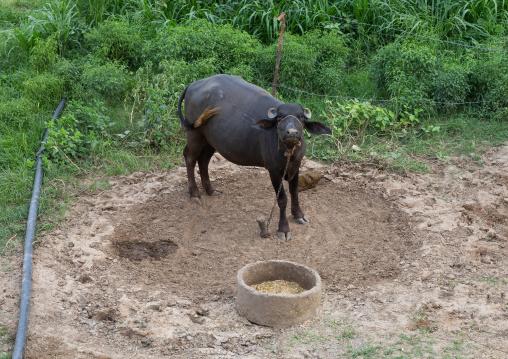 Swamp buffalo in a farm, Rajasthan, Baswa, India