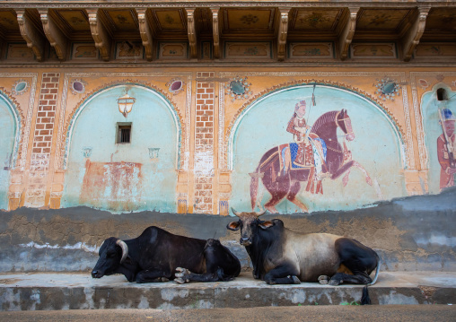 Cows resting in front of an old haveli with lavishly painted walls, Rajasthan, Nawalgarh, India