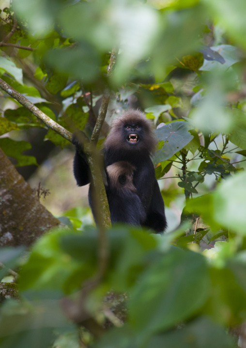 Monkey In The Trees Showing Its Teeth, Periyar, India
