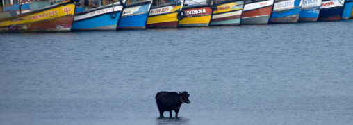 Cow In The Water With Boats, Thalassery, India