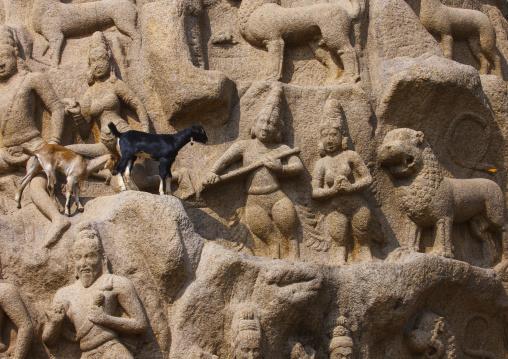 Real Goats Walking On Arjuna's Penance Carvings, Mahabalipuram, India