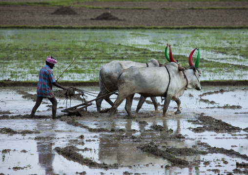 Cultivator Lead Plough Pulled By Cows With Painted Horns On Paddy Field, Mahabalipuram, India