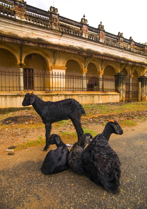 Family Of Goats In Front Of An Old Mansion In Kanadukathan Chettinad, India