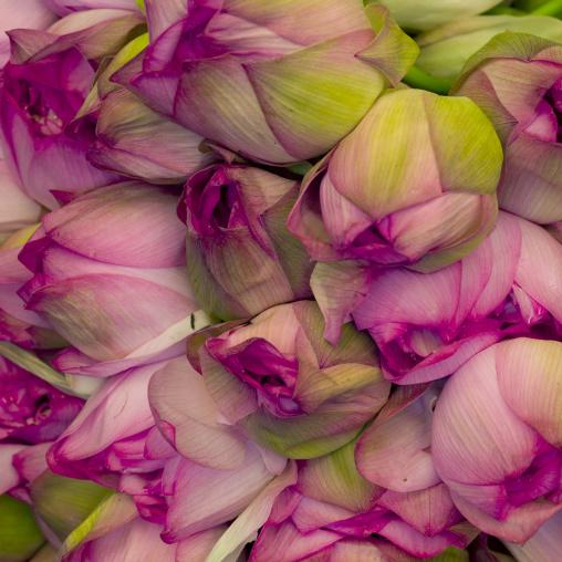 Lotus Blossoms Madurai, India