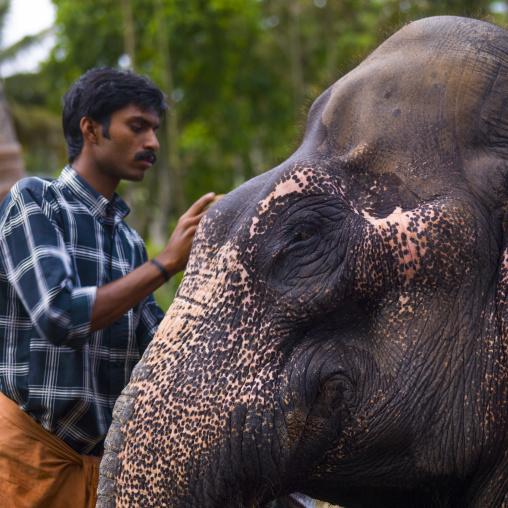 Man Taking Care Of An Elephant, Periyar, India