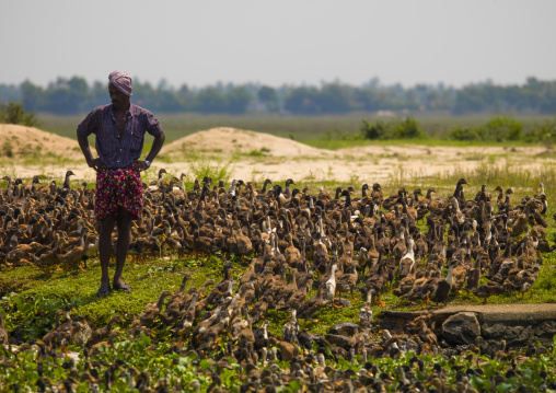 Farmer Surounded By Ducks In The Backwaters Of Kerala, Alleppey, India