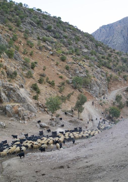 Goats Coming Back From The Mountain, Old Kurdish Village Of Palangan, Iran