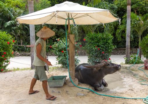 Japanese man spreading perfume on a water buffalo, Yaeyama Islands, Taketomi island, Japan