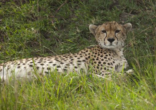 Cheetah (acinonyx jubatus) resting in the grass, Rift valley province, Maasai mara, Kenya