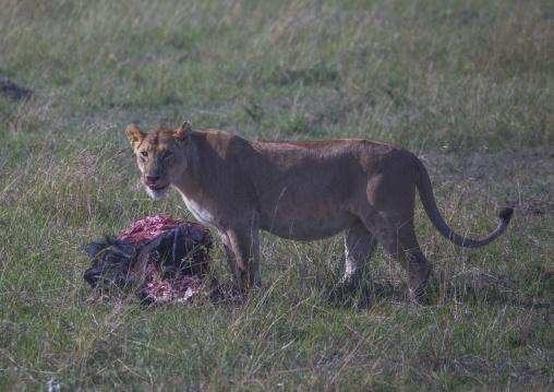 Lioness (panthera leo) eating a wildbeest, Rift valley province, Maasai mara, Kenya