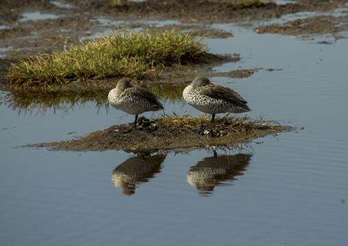 Two ducks sleeping on a little bank, Nakuru district of the rift valley province, Nakuru, Kenya