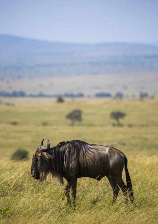 Black wildebeest (connochaetes gnou), Rift valley province, Maasai mara, Kenya