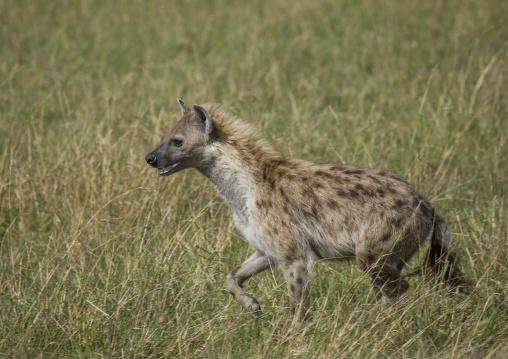 A spotted hyena in the grass, Rift valley province, Maasai mara, Kenya
