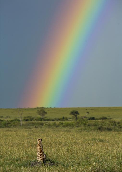 Cheetah (acinonyx jubatus) in front of a rainbow, Rift valley province, Maasai mara, Kenya