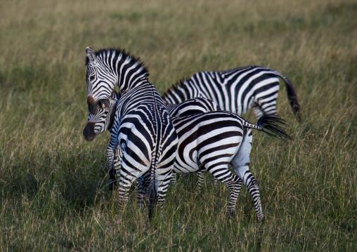 Burchells zebra (equus burchellii) stallions fighting, Rift valley province, Maasai mara, Kenya