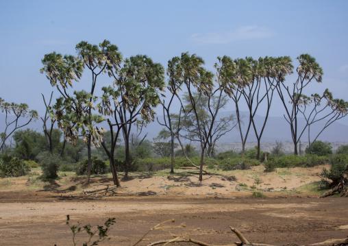 Palm trees on the bank of a uaso nyiro river, Samburu county, Samburu national reserve, Kenya