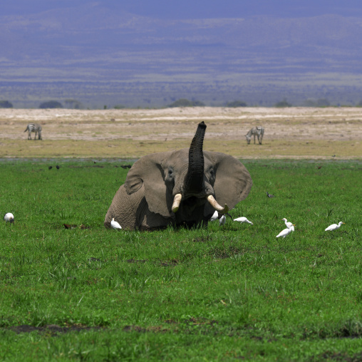 African elephant (loxodonta africana) in the water, Rift valley province, Amboseli, Kenya