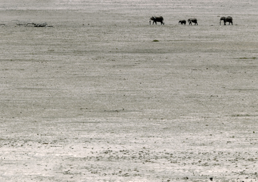 Elephants crossing in a dry savannah, Kajiado County, Amboseli park, Kenya
